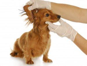 Vet examinando orelha cachorro