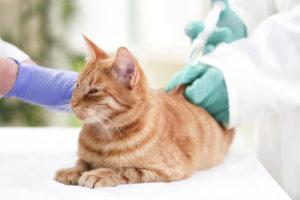 gato sendo vacinado