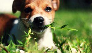 Por que motivos os cães comem grama