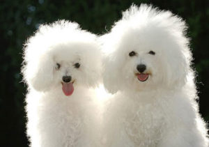 cuidados com cães peludos no verão