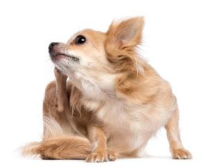 tempo frio e seco exige cuidado com cães